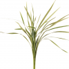 Lily Grass Variegated - 60cm