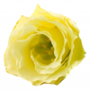 Lisianthus Yellow