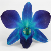 Dendrobium Dyed sonia blue