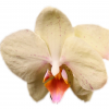 PHALAENOPSIS AREZZO  Vase life 15 days - cream, Yellow