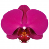 vPHALAENOPSIS CAPE TOWN  Vase life 15 days - Pink purple