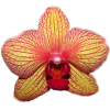 PHALAENOPSIS GOLDEN TREASURE  Vase life 15 days - peach, Red