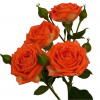 Spray roses Orange Babe