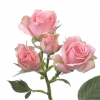 Spray roses pink Majolica